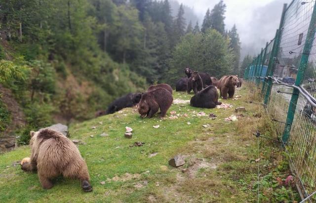 Ведмеді нацпарку «Синевир» люблять ласувати кавунами: кумедне відео