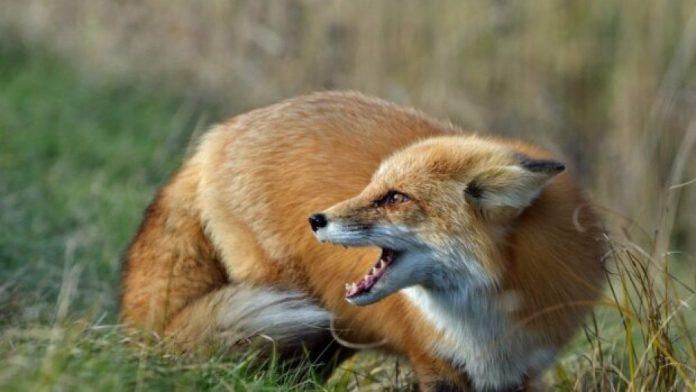 В середмісті Франківська ввели карантин через скажену лисицю