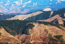 Чому не припиняються незаконні вирубки лісу у Карпатах?