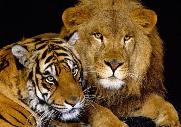 В парку розваг на Прикарпатті поселили левів та тигра