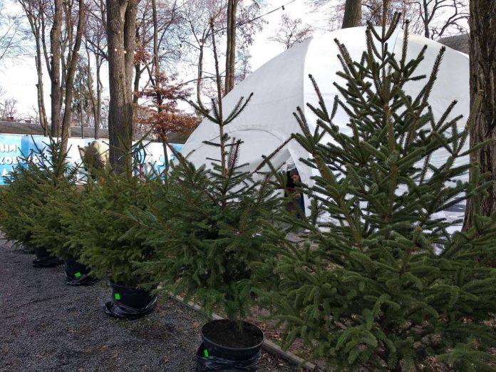 На свята прикарпатські лісівники продали понад 3 тисячі новорічних дерев