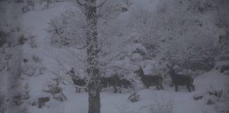 У Карпатах фотограф «спіймав» в об'єктив камери сімейку оленів ФОТО